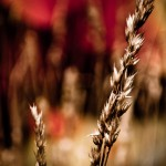 WildWheat_by_Brian_Burt